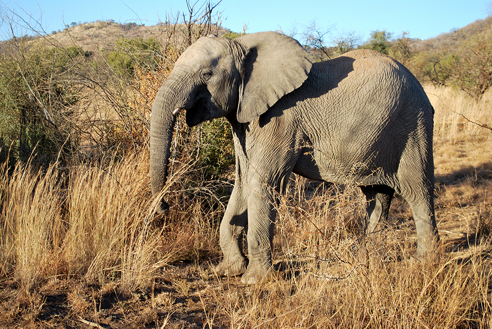 LSU in South Africa Pilannesberg National Park