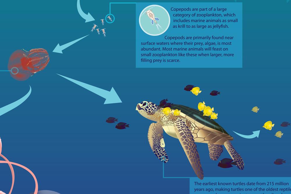 Copepods infographic with sea turtle, LSU BFA Studio Art Graphic Design