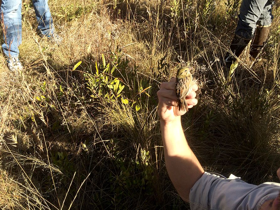 Hand in marsh holding sparrow