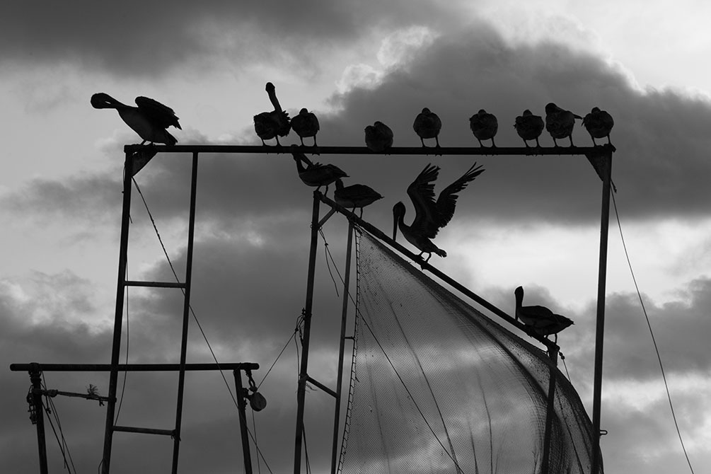 Black and white photo of birds on bar. Sarah Hamilton, Keepers of the Coast