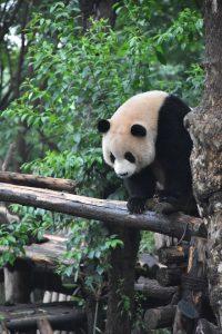 panda on log