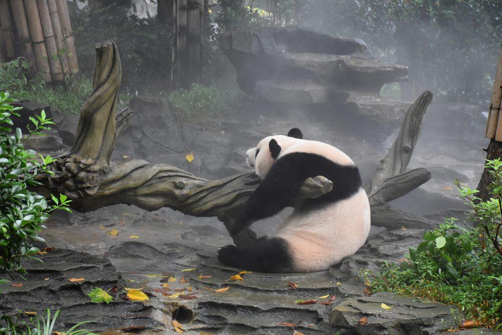 panda hugging tree log
