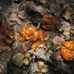 photo of persimmons decaying